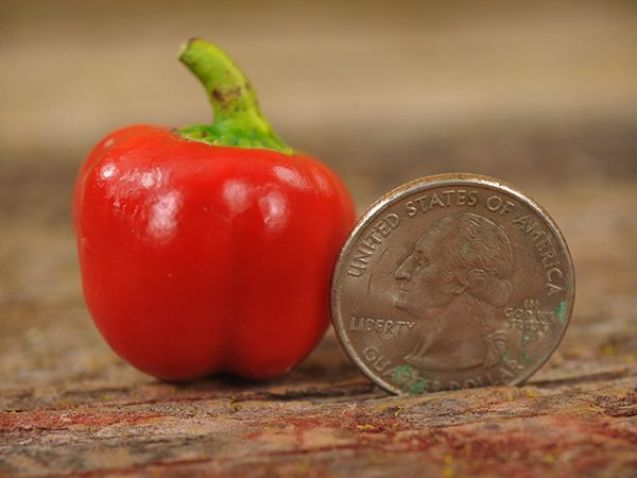 Miniature Red Bell Pepper Fruit