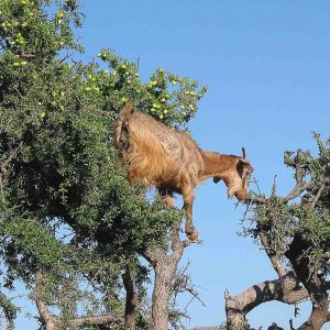 Image of Morocco goat eating in argan tree