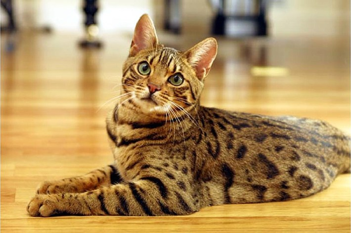 Bengal Cat - Breed Information