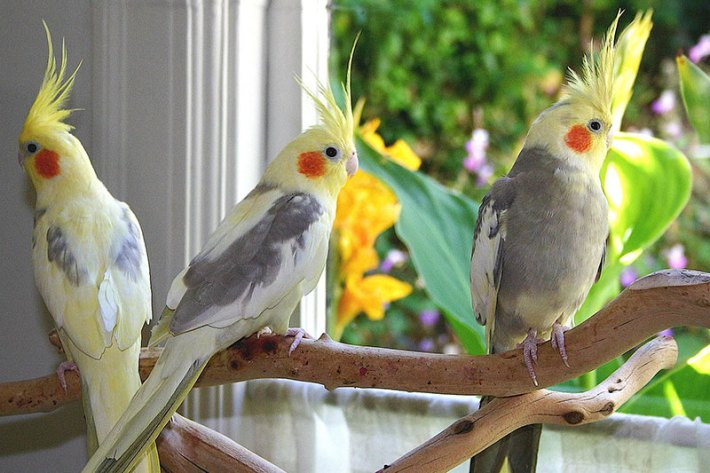 Caring-for-Your-Cockatiel-1