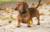 Dachshund Dog - Breed Information