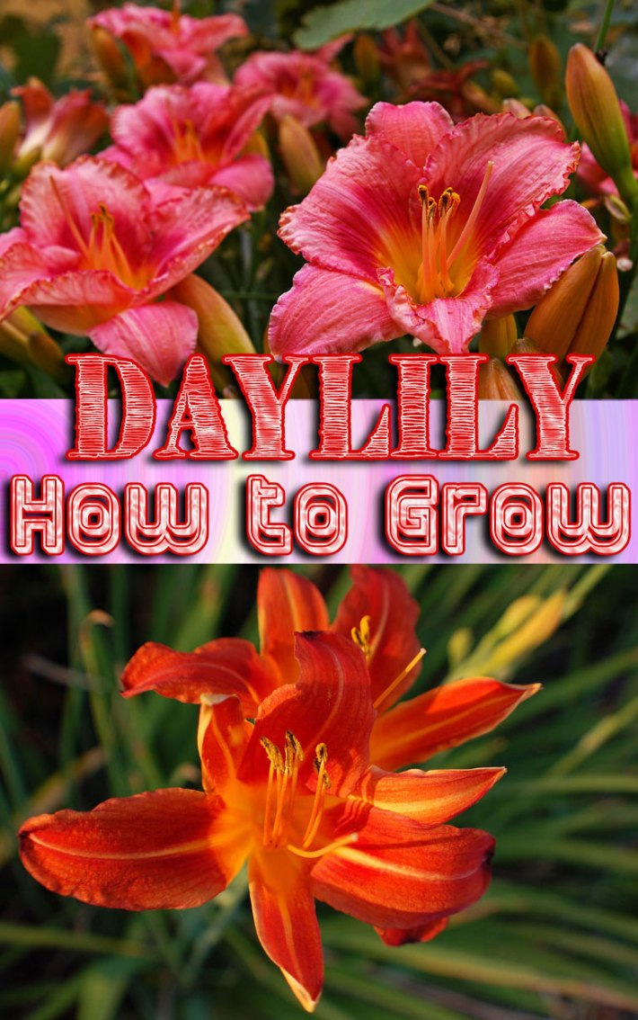 Daylily – How to Grow