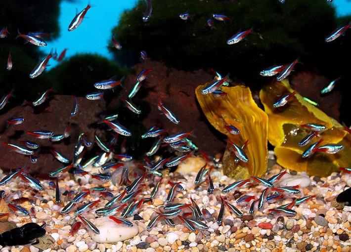 Neon Tetra -Fish Guide