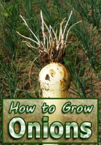 Onions - How to Grow