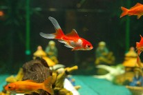 Stress in Fish - Learn Symptoms and Help Your Fish