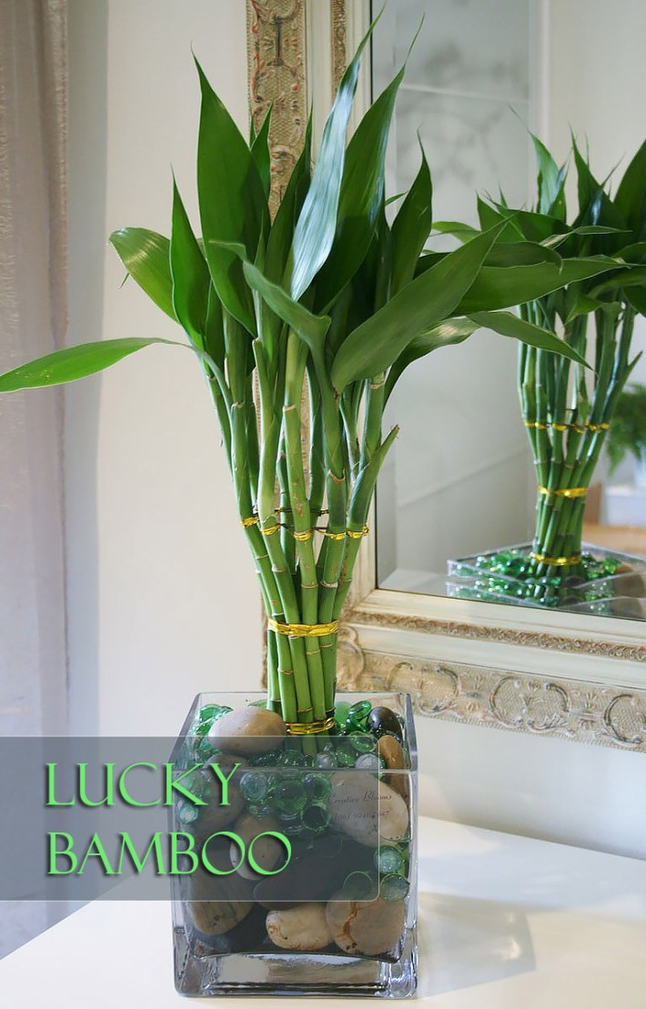 Lucky Bamboo – Perfect Office Plant