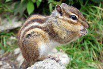Siberian Chipmunk - Info and Care
