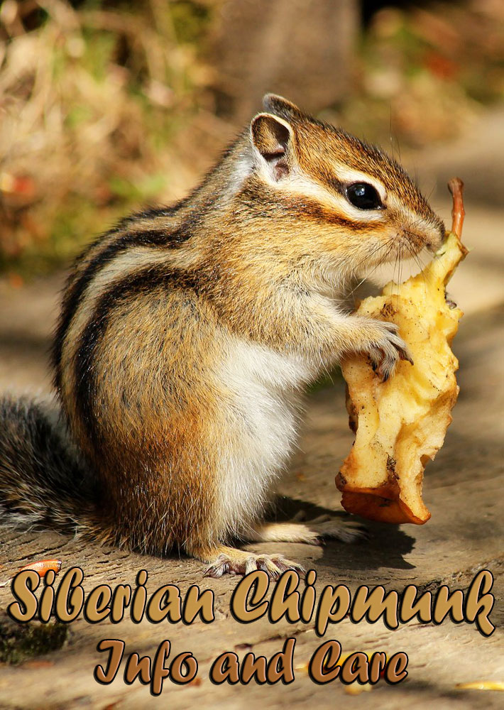 Siberian Chipmunk – Info and Care