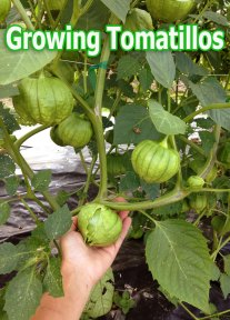 Tomatillos - Growing Guide