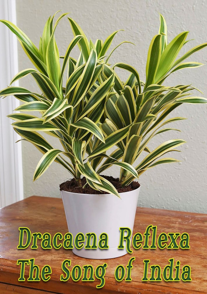 Dracaena Reflexa – The Song of India