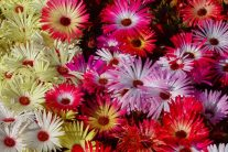 Growing and Caring for Ice Plants