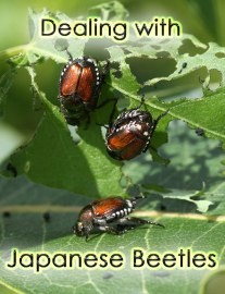 Dealing with Japanese Beetles