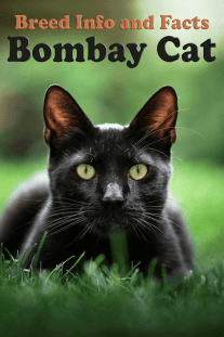 Breed Info and Facts – Bombay Cat