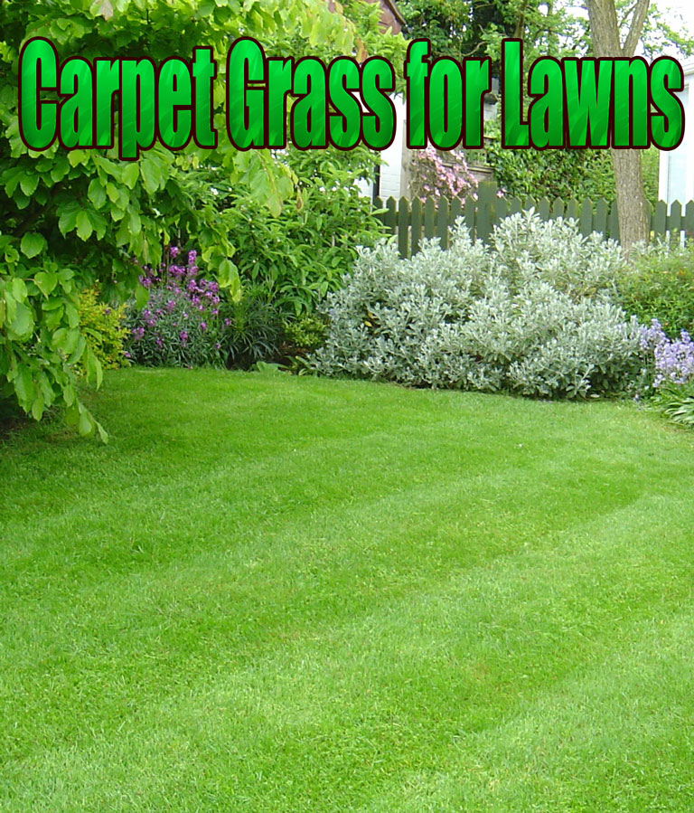 Carpet Grass for Lawns - Quiet Corner