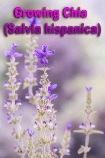 Growing Chia (Salvia hispanica)