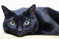 Breed Info and Facts - Bombay Cat