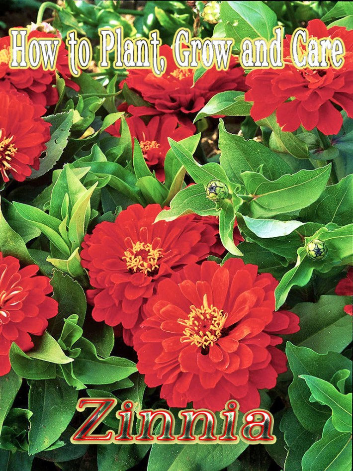 Zinnia – How to Plant, Grow and Care
