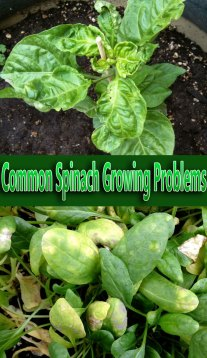 Common Spinach Growing Problems