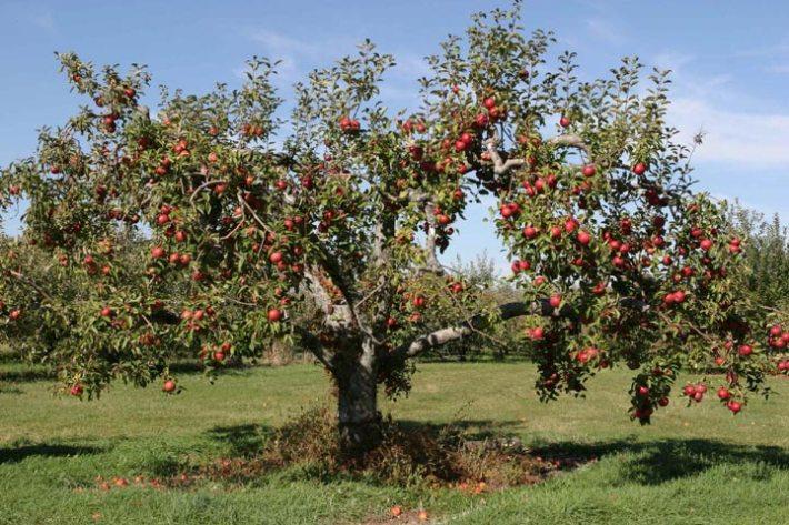 Apple Tree – Planting, Growing, Pruning and Harvesting