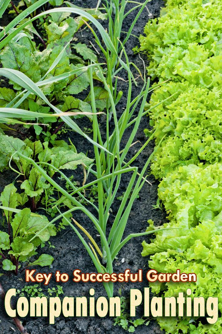 Companion Planting – Key to Successful Garden