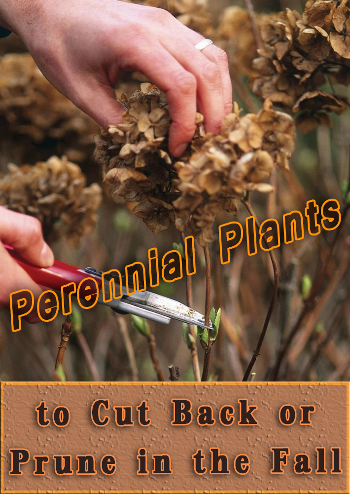 Perennial Plants to Cut Back or Prune in the Fall