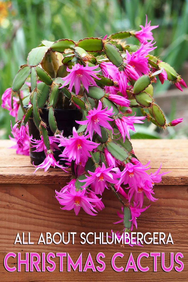 All About Schlumbergera – Christmas Cactus