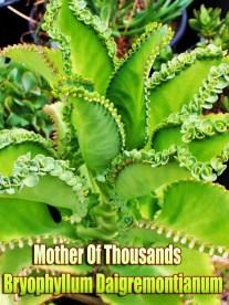 Mother Of Thousands - Bryophyllum Daigremontianum