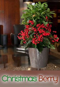 Christmas Berry - Info and Care