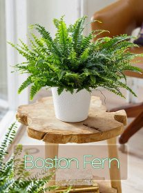 How To Take Care Of A Boston Fern 4