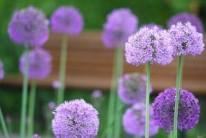 Purple Flowers   Choosing The Right Flowers For Your Garden Allium