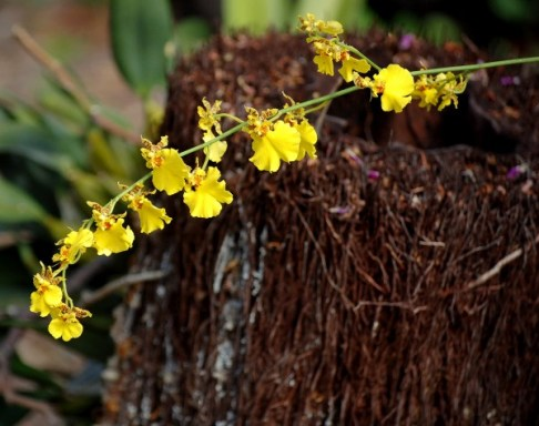 orchids-yellow