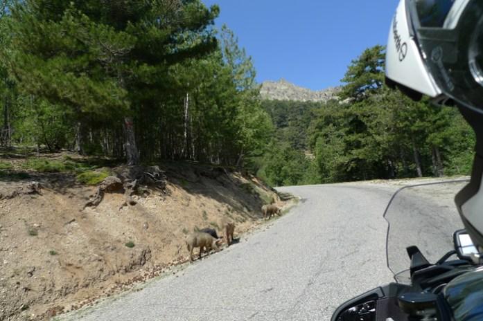 De mota pela Col de Vergio estrada D84 na Forêt D'Aitone. Córsega
