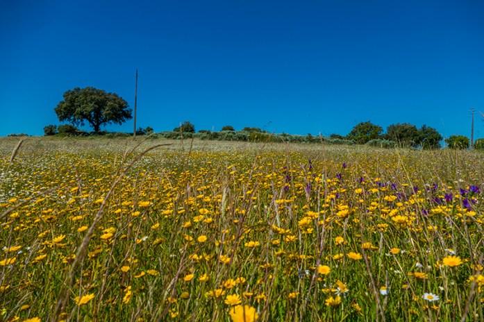 Campos floridos no Alentejo