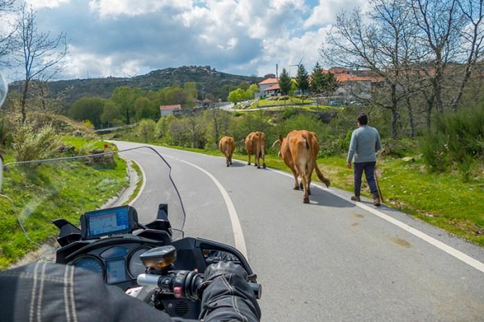 Gado nas estradas da aldeia