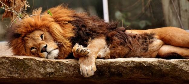 lion-3317566_1920