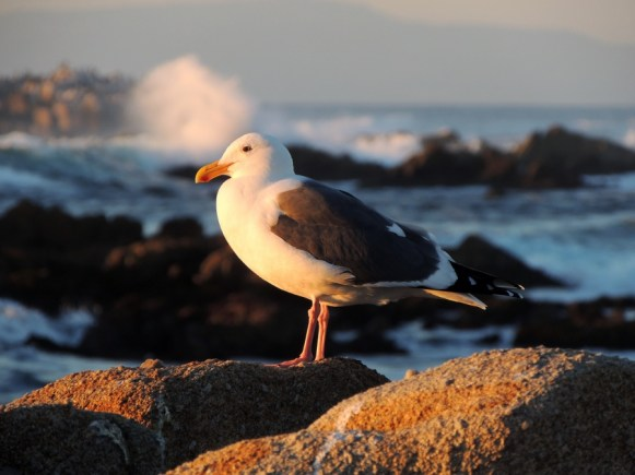 Seagull at sunset 12/28/2014