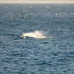 Breaching grey whale calf 12/29/2014