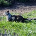 Fat Ground Squirrel
