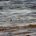 Backlit Otter at Sunset 12/28/2014