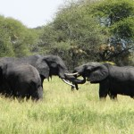 Elephant Greeting - Tarangire National Park