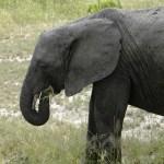 Young Elephant Eating - Tarangire National Park