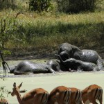 Mud Bathing Elephants - Tarangire National Park