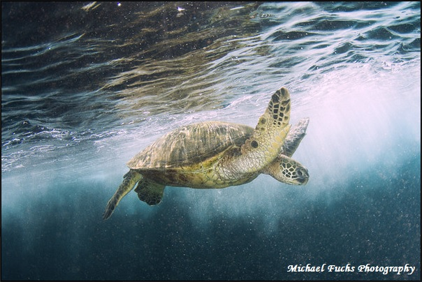 Green Sea Turtle, Michael Fuchs Photography