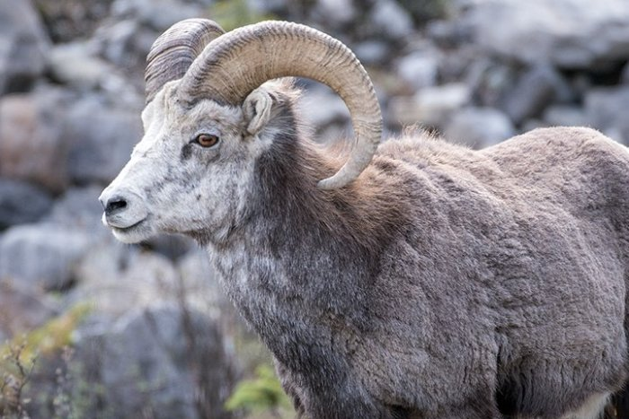 Male Stone Sheep, photo by Michael Fuchs