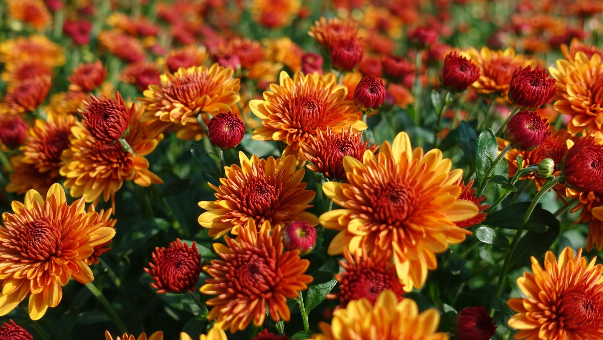 Fall Mums - photograph by Patrick Donnelly