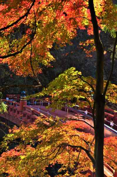 Japanese maples at peak fall color frame the Shinkyo Sacred bridge in NIkko