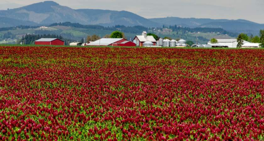 Red clover field in Tualatin Valley in early May