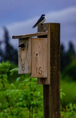 Tree swallows in nest boxes