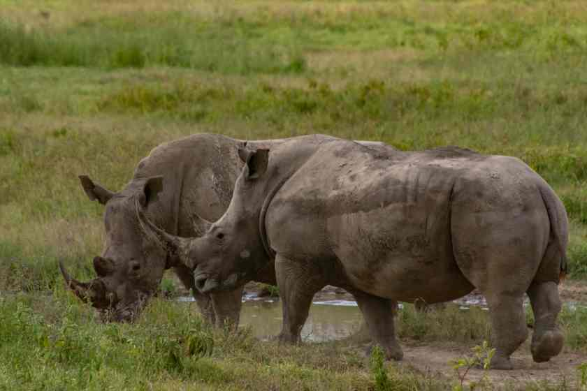 Southern white rhino at Lake Nakuru National Park in Kenya