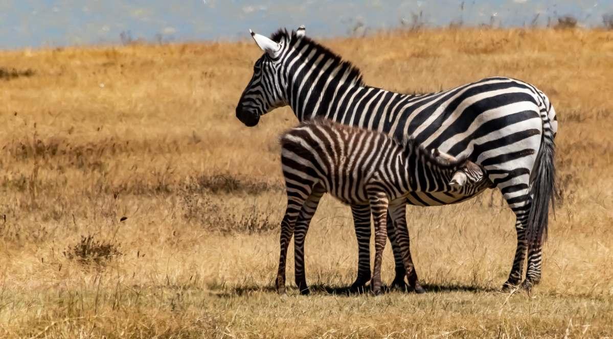 A nursing zebra
